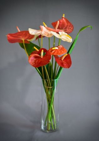 Anthuriums Assorted 12